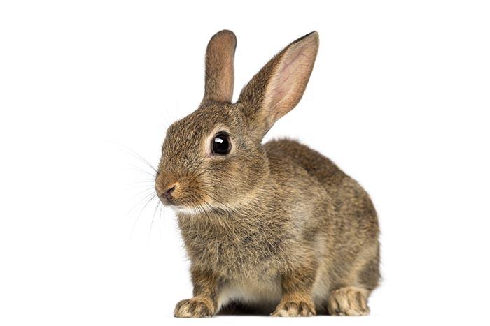 European rabbit or common rabbit, 2 months old