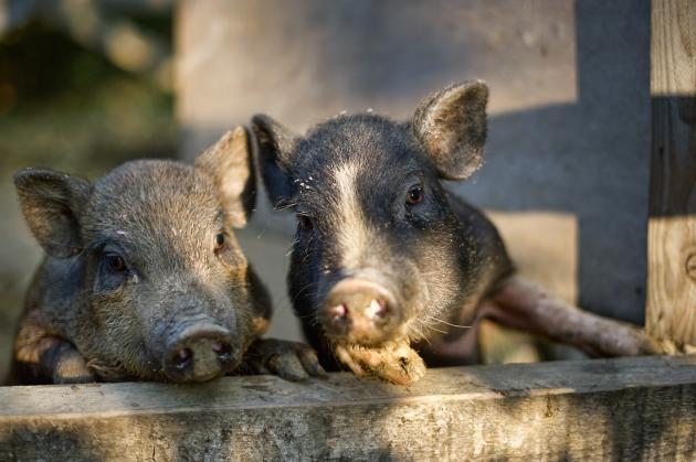 Les-petits-Cochons-chez-Daurel