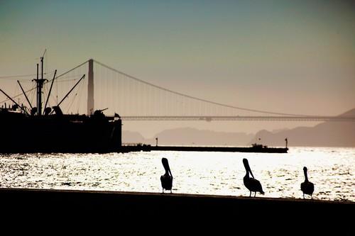 Pelicans-San-Francisco_2