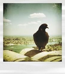 pola-pigeon2